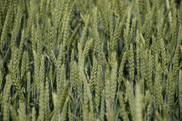 spikelets of green wheat ripening