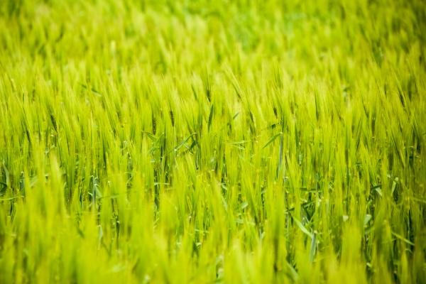 field of green immature barley