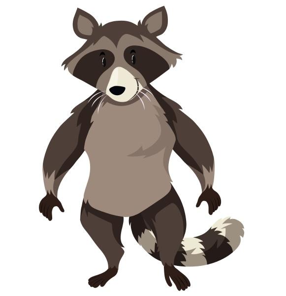 wild raccoon on white background