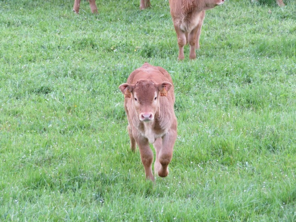 beautiful large and purebred cows for