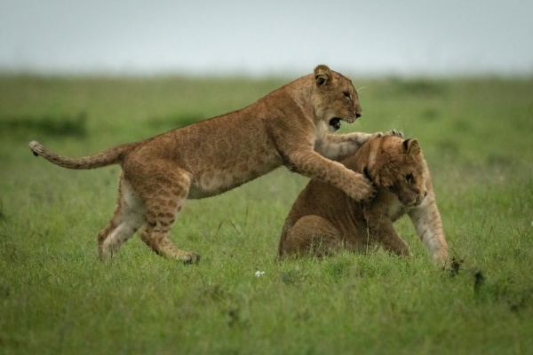 lion cub attacks another on grass