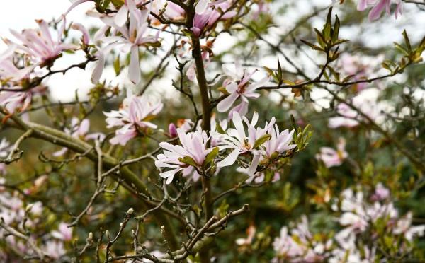 blooming star magnolia in the garden