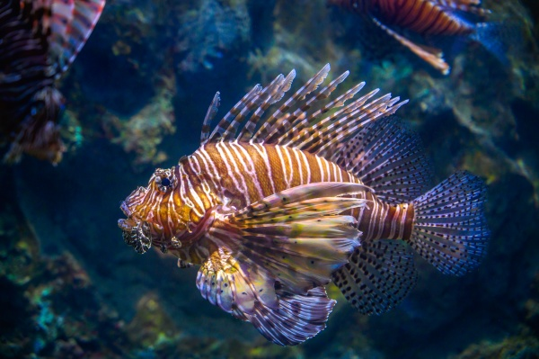 miles lionfish swimming in coral under