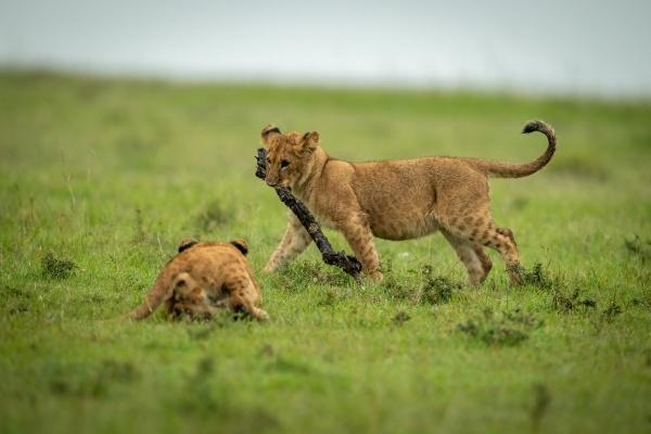 lion cub watches another walking with