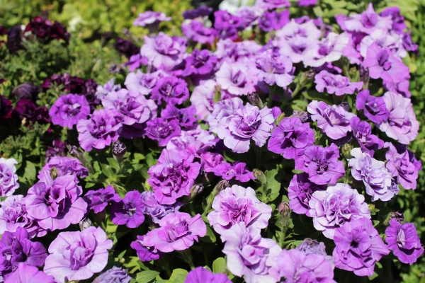 blossoming petunia in the garden