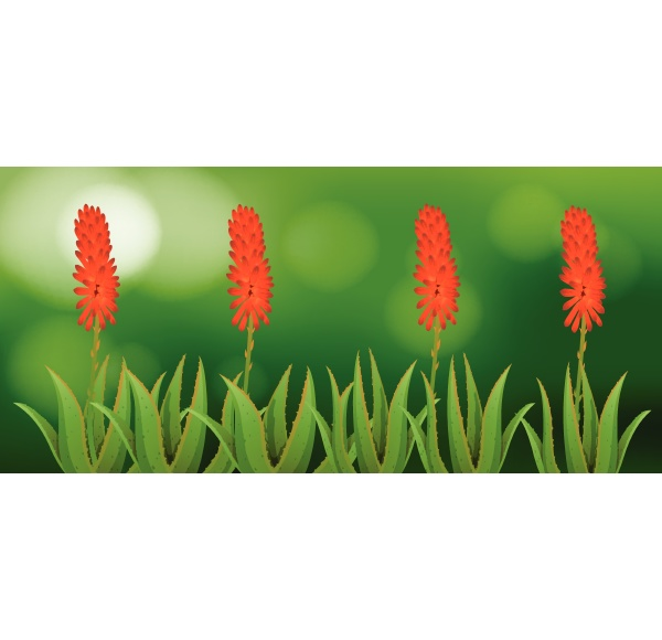 aloe vera flowers in garden