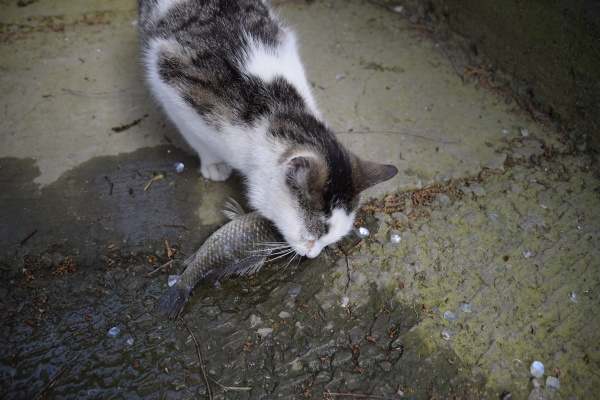 the cat eats live fish fish