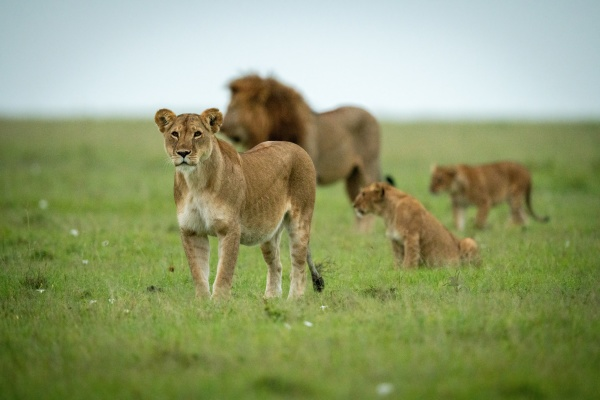pride of lions stand and sit