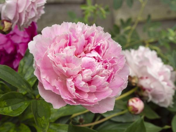 closeup of a beautiful pink peony