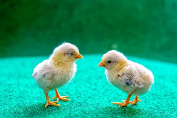 the yellow chicks
