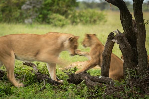 slow pan of lion cub pawing