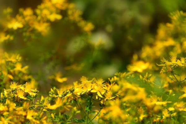 st john wort medicinal plant with