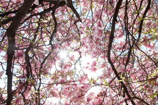magnolia tree flowers blossom in spring