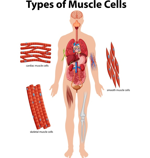 information poster of muscle cells