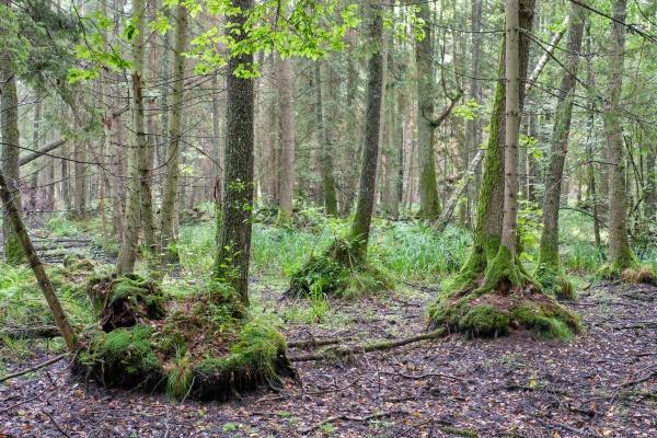 old black alder trees in deciduous