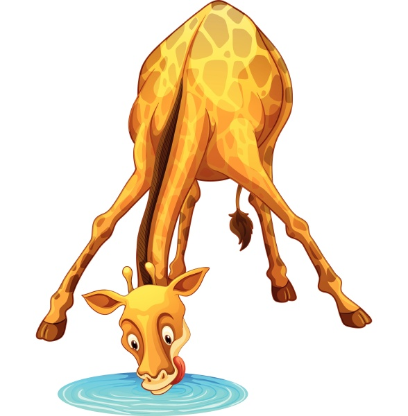 giraffe drinking water from the puddle