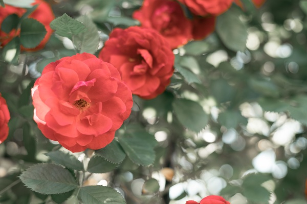 red roses in the own garden