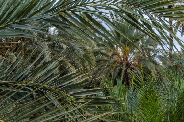 date palm detail
