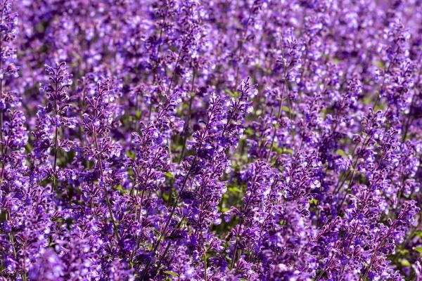 purple flower bed in a garden