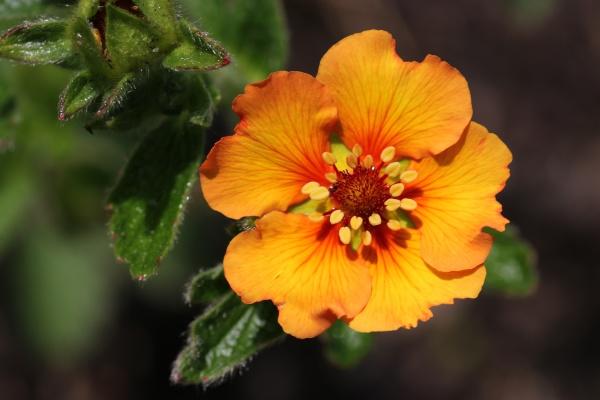 orange cinquefoil flower close up