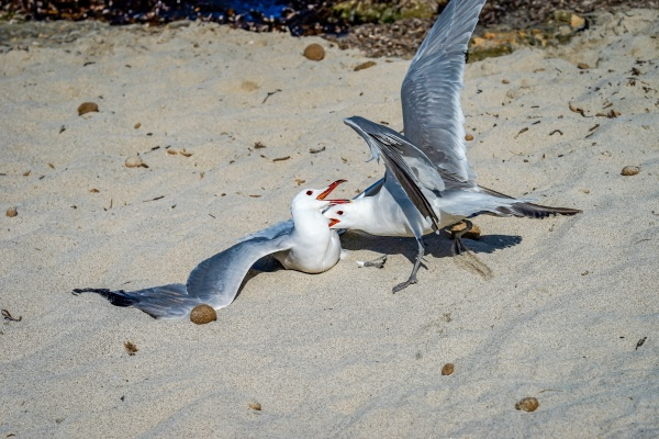 two seagulls fight on the beach