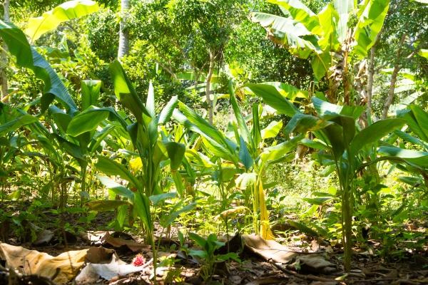 curcuma cultivation from zanzibar tanzania spices