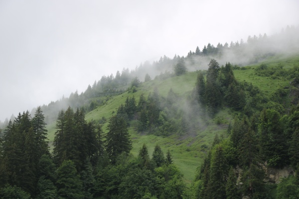 pine forest and green meadow on