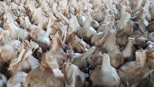 a lot of messidor garlic is