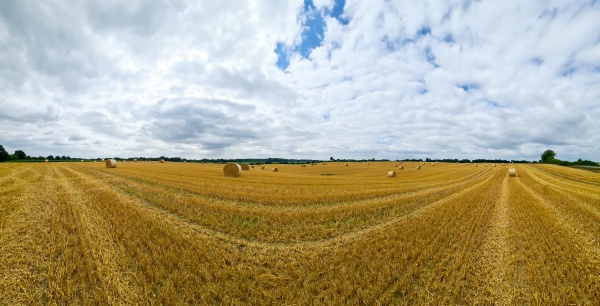 summer view on an agricultural wheat
