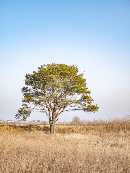 lonely standing pine tree in the