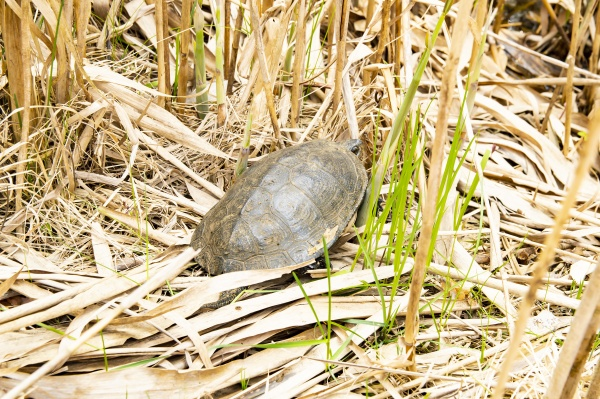 freshwater turtle in reeds animals