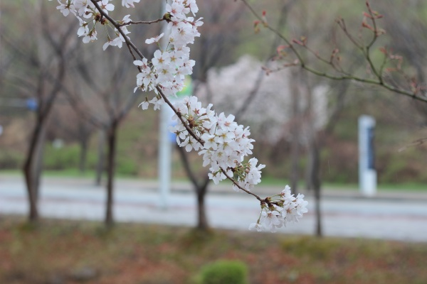 blossoming white cherry flowers with green