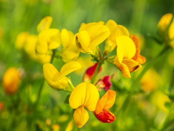 yellow flowers of field plants in