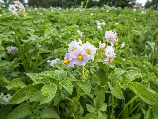 white flowers of a flowering potato