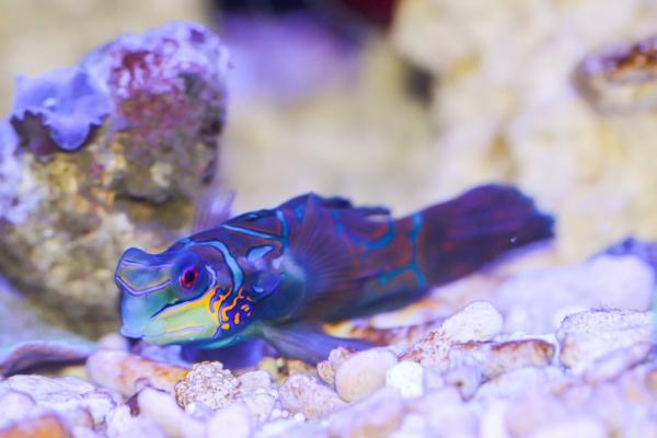 a male mandarin fish in a