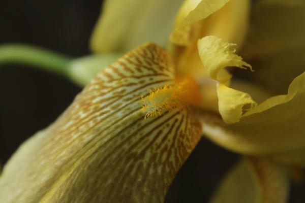 iris germanica yellow iris in springtime