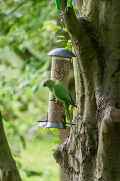 ring necked parakeet eating birdseed in