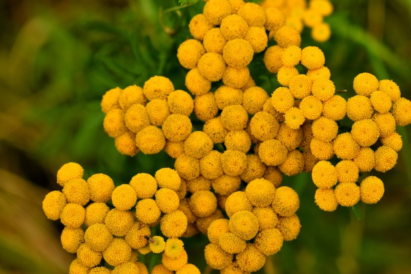common tansy medicinal herb with flower