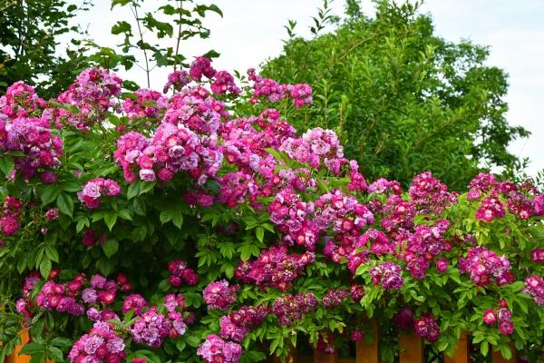 blooming climbing roses over a garden
