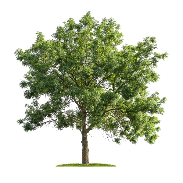 isolated ash tree on a white