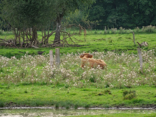 cows on a meadow in germany
