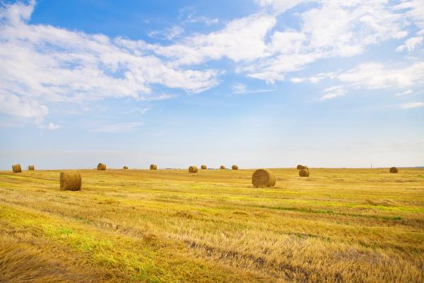 beautiful summer wheat field with lying