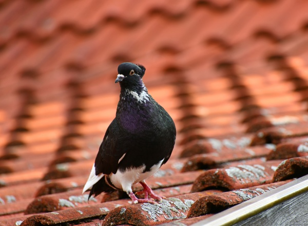 pigeon on a dovecote in good