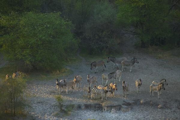 herd of burchells zebra moremi reserve