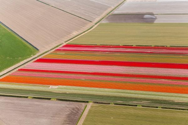 tulip fields north holland
