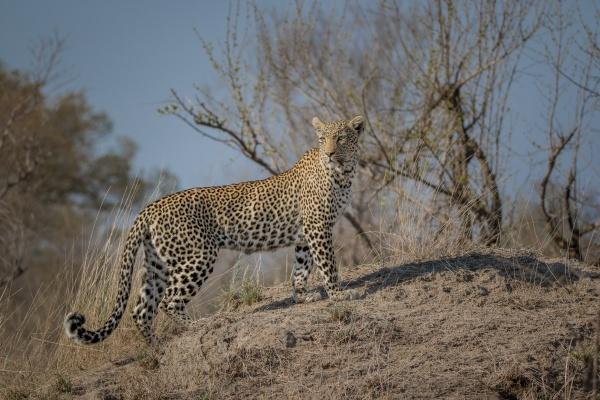 a leopard walks up a termite
