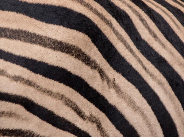 the stripes of a zebra equus