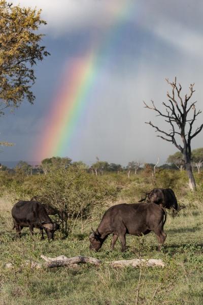 herd of buffalo syncerus caffer graze