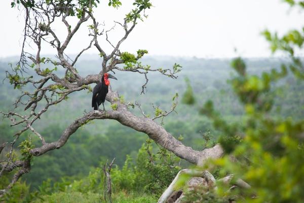 ground hornbill bucorvus leadbeateri sits on