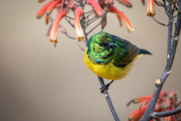 collared sunbird hedydipna collaris on an
